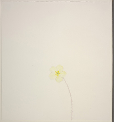 William McKeown: Open drawing – Primrose #2, 2003, colouring pencil on paper, 28.5 x 26 cm, collection Irish Museum of Modern Art, purchase, 2004; courtesy the artist and IMMA